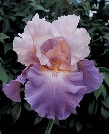 Mother Earth German Iris