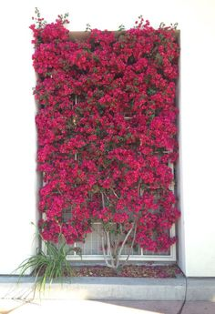 Wonderful Bougainvillea Trellis Ideas Bougainvillea Vines – Elegantly Twine Up a Trellis Wonderful Bougainvillea Trellis Ideas. Bougainvillea has been considered as one of the bright and colo… Bougainvillea Trellis, Bougainvillea Colors, Vine Trellis, Garden Trellis, Trellis Ideas, Porch Trellis, Tomato Trellis, Wood Trellis, Cucumber Trellis