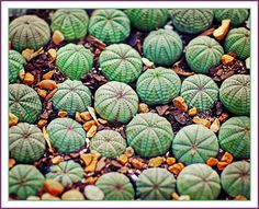 cacti carpet by jaki good miller, via Flickr