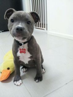 A grey and white puppy sitting on the floor next to its duck stuffed animal.