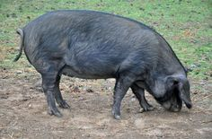 Pig 'tries to fight cow after drinking 18 cans of beer'