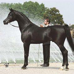 Simeon Sadik (Asfour {Malik x Hanan by Alaa El Din} x Simeon Safanad {Sankt Georg x 27 Ibn Galal V by Ibn Galal} black SE stallion bred by Simeon Stud, ...