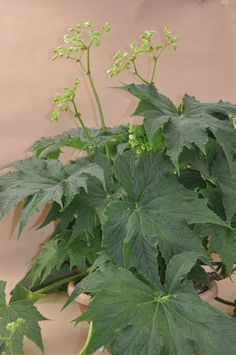 Begonia 'Challenger'