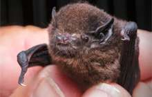 Long-tailed bat at Knobs Flat. Photo © Sabine Bernert.