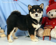 How can u not fall in love with that face?!?!?! Shiba inus are absolutely stunning
