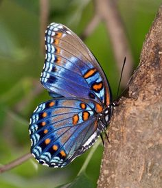 Red-Spotted Purple Butterfly underwing