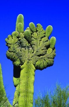 Crested Saquaro cactus