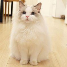 あどけない顔が、 極上に可愛いと思います。 #ラグドール #ragdoll #ふわもこ部 #ハチワレ #青い目のねこ #ブルーポイントバイカラー #長毛種 #ねこすたぐらむ #にゃんすたぐらむ #catstagram #blueeyes... Ragdoll Cat Breed, Animals And Pets, Cute Animals, Cute Cats Photos, Cat Breeds, Cat Lady, Animals Beautiful, Kittens, Dogs