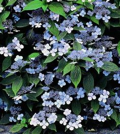 V Check Hydrangea Serrata, Hydrangea Shrub, Hydrangea Landscaping, Front Yard Landscaping, List Of Flowers, Planting Plan, Garden Shrubs, Plant Nursery, Farm Gardens