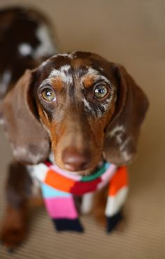S'mores the Doxie is scarf'd up for fall!
