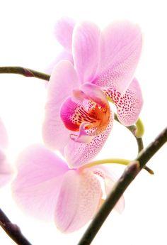 Orchidea, simbolo di armonia e perfezione spirituale. #fiori #significati