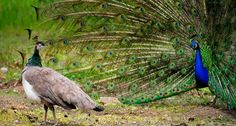 Female peahen observing a male peacock with his plumage out (© Dave Blackey/Getty Images)
