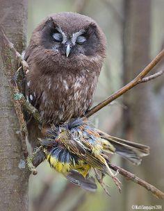 young Boreal Owl ( Aegolius funereus ). Tornio, Finland.