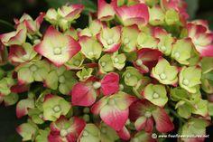 Red hydrangea, Resolution: 960 × 640 pixels