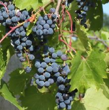 Frontenac (grape) vine plant; very hardy and frost tolerant!