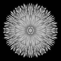 Flower Mandala: Dandelion IV, B&W - Flower Mandalas