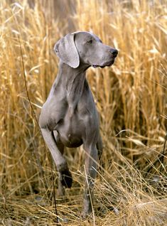 Pointing Dog Blog: Breed of the Week: The Weimaraner Part 1