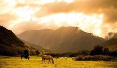 Le pâturage - Des chevaux au pâturage
