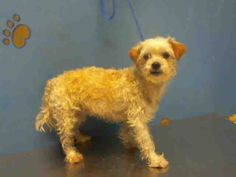 ~ Animal ID #A1318730   ‒ I am a Female, Cream Miniature Poodle mix. The shelter thinks I am about 3 years old. I have been at the shelter since May 15, 2015.    City of Houston, BARC Animal Shelter & Adoptions  Telephone ‒ (713) 229-7300 2700 Evella Street Houston, TX Fax: (713) 238-2189 https://www.facebook.com/OPCA.Shelter.Network.Alliance/photos/pb.481296865284684.-2207520000.1432024203./821925687888465/?type=3&theater