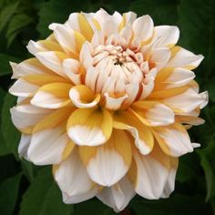Finest Collection of Dahlias in the UK & Europe Flowers Name List, Flower Names, Growing Flowers, Planting Flowers, Summer Plants, Fruit Plants, Plant Species, Blossom Flower, Garden Inspiration