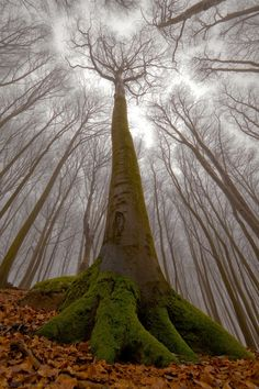 The Beech With the Human Face by Leszek Paradowski, 1x.com #Photography #Wood #Tree #Human_Face