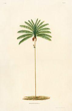 CEnocarpus Distichus from Sertum Palmarum Prints Vintage Botanical Prints, Antique Prints, Botanical Art, Palm Tree Print, Palm Trees, Palm Tree Drawing, Illustrations Vintage, Plant Illustration, Tropical Flowers