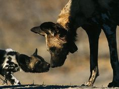 "AFRICAN WILD DOG and Pup Lycaon pictus ©Chris Johns / National Geographic Nose to nose, a curious youngster approaches an adult African wild dog. The scientific name ""Lycaon pictus"" is derived from the Greek for ""wolf"" and the Latin for ""painted"". African Hunting Dog, African Wild Dog, Hunting Dogs, Amazing Animals, Animals Beautiful, Cute Animals, Wild Animals, Wild Dogs, African Animals"