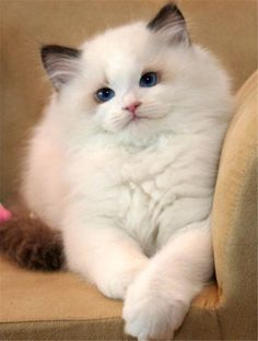 Ragdoll cat is very affectionate breed, so people love to own this breed. Checkout this article if you are willing to own ragdoll cat Cute Cats And Kittens, Cool Cats, Kittens Cutest, Kittens Meowing, Pretty Cats, Beautiful Cats, Animals Beautiful, Pretty Kitty, Hey Gorgeous