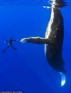 A front page story in the San Francisco Chronicle told the story of a female humpback whale who had become entangled in a spider web of crab traps and lines. She was weighted down by hundreds of pounds of traps that caused her to struggle to stay afloat. The whale also had hundreds of yards of line rope wrapped around her body, her tail, her torso, a line tugging in her mouth.    A fisherman spotted the whale just east of the Fa...