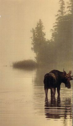 Moose, Isle Royale National Park