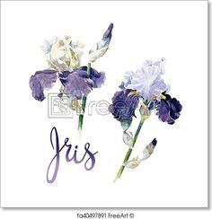 Hand drawn watercolor violet irises on white. Free art print of Iris. Iris Flowers, Botanical Flowers, Free Art Prints, Canvas Art Prints, Botanical Illustration, Watercolor Illustration, Watercolor Flowers, Watercolor Art, Navy Blue Wall Art
