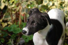 Lurcher, Cachorro, Cão, Animal De Estimação, Black
