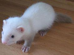 cute adorable little ferret pup