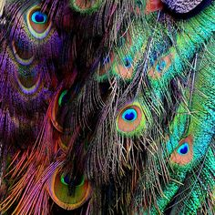 Clarimonde will cloak herself in the form of a peacock and wander the grounds from time to time. The iridescent bird's experience, devoting their bodily energy to beauty for the sake of a mate, feels as timeless as her own. They are cousins in that way. Peacock Colors, Peacock Feathers, Peacock Print, Peacock Design, Nocturnal Animals, Gypsy Chic, Peafowl, The Dark Crystal, Vintage Hippie