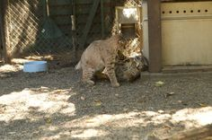 Our bobcats love to play together!