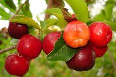 Acerolas ~ sour cherries, yum!!! Puerto Rico