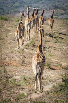 Giraffe Walk by Klaus Waibel