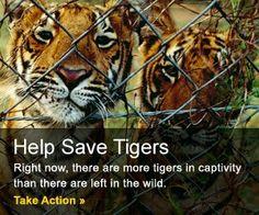 Endangered tigers need help