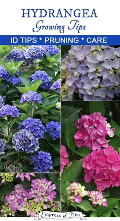 Handy tips for knowing which type of hydrangea you have, when to prune it, how to change the flower color, and general care. Garden Shrubs, Garden Plants, Shade Garden, Growing Flowers, Planting Flowers, Growing Hydrangea, Horticulture, Types Of Hydrangeas, Caring For Hydrangeas