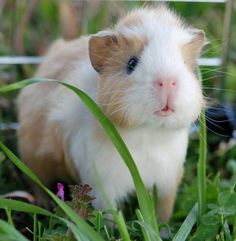 cute little guinea pig