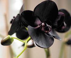 weddingsbyepi:  Black Triple Phalaenopsis Moth Orchid  gothic goth weddigs
