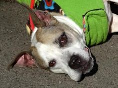 SNOOP is an adoptable Pit Bull Terrier Dog in New York, NY. A volunteer writes: Snoop wants so much for me to notice him. He does not bark but his eyes do all the speaking. His eyes are mighty beautif...