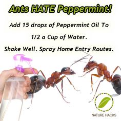 Young Living Peppermint Essential Oil Ants www.youngliving.org/mgarcia12319…