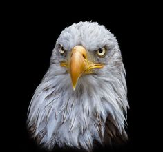 Photograph Bald eagle by Sylvie S on 500px