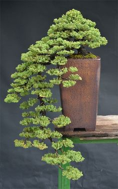 bonsai, now I love the shape of this one