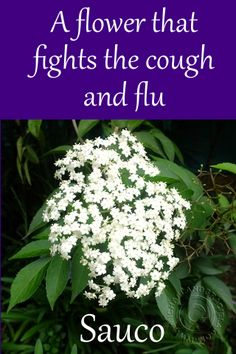 Sauco Cured our Cough – Another South American Natural Medicine