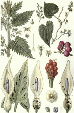 edible plants example: herbs poster