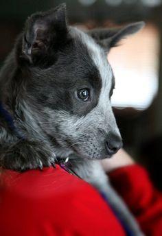Blue Heeler/Border Collie Mix...Smokey Heeler puppies