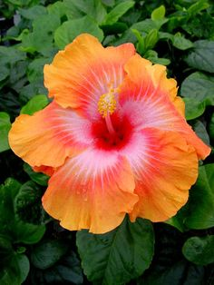How To Care For Hibiscus Plants - Home and Gardens Dried Hibiscus Flowers, Flower Pots, Amazing Flowers, Flowers, Pretty Flowers, Hibiscus Plant, Plants, Hibiscus Rosa Sinensis, Hibiscus