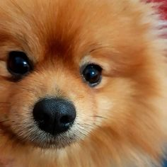 My pet stylist has cut my moustache i dont know why but now it grows again #malaga #love #amor #paw #teddypomm#spain #fiesta #lovers #bestpuppyever #bestfriends #happyweekebd #puppies  #drinks #bestpicture #bestpuppy #beach #funny #pomlove #followme #photooftheday #holiday #trump #pomeranian #alcohol #kendalljenner #weekend #animals #dogs #paws @tiendanimal